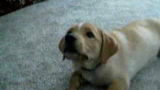 Golden Retriever Labrador Mix Puppy Riley First Week