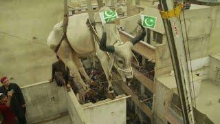 Cows hoisted from rooftop ahead of Eid festival sacrifices