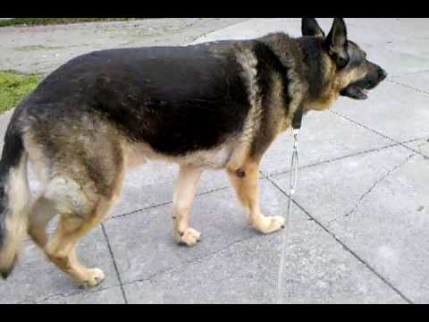 German Shepherd Dog Third Degree Anterior Cranial Cruciate Ligament Tear, 2 of 8.