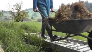 Ausmisten im Kuhstall