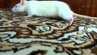 Наш Лучик :-) (белая крыса, альбинос, красные бусинки глаз) /// white rat albino