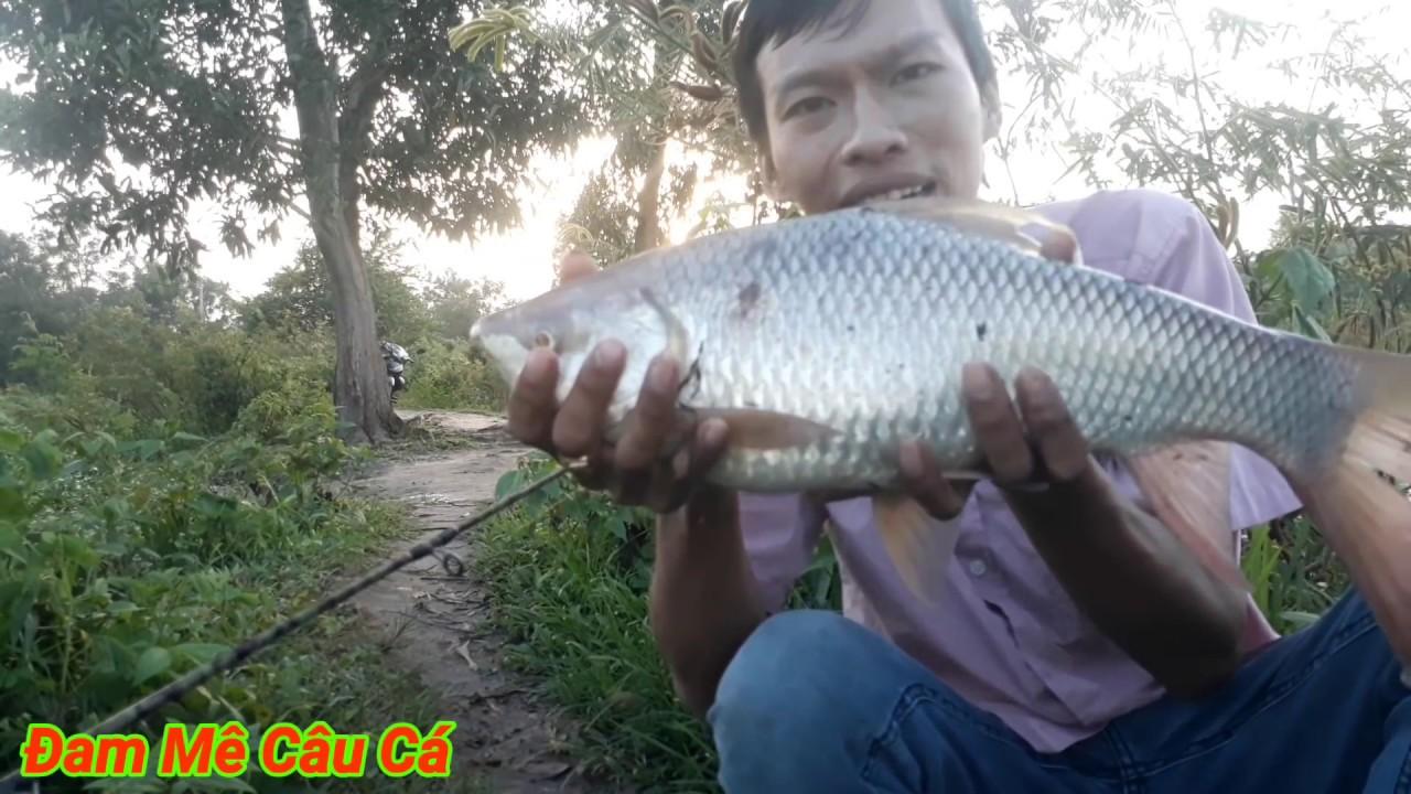Câu cá trôi!Câu cá trôi,bằng mồi ngủ cốc ủ chua,lên ngay cá trôi Khủng, fishing || Đam Mê Câu Cá