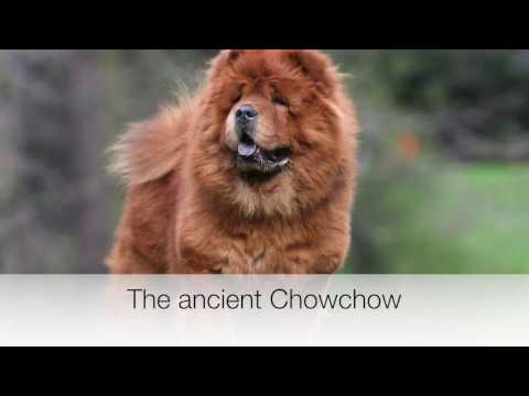 Chowchow facts and tips