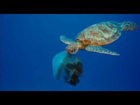 Turtle Eating Jelly Fish