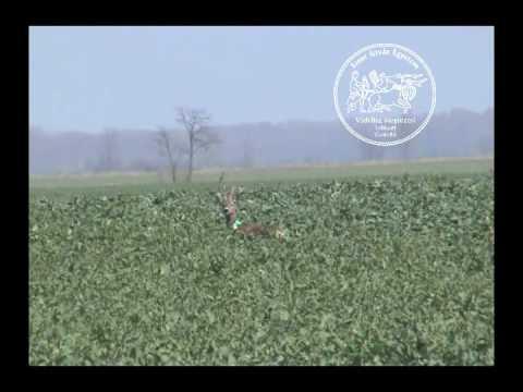 Őz megjelölve (Roe deer with radio collar in Hungary)