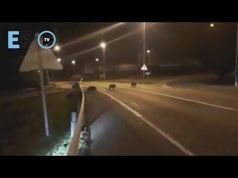 Los lucenses no quieren batidas de jabalies cerca de la ciudad