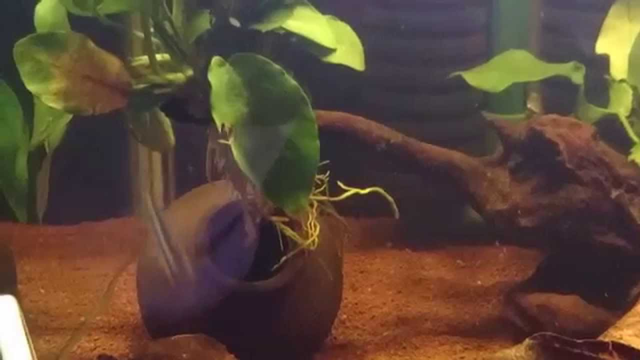 貓王的魚窩-泰菲阿卡西短鯛吃飯了(主食:豐年蝦) - YouTube
