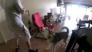 Husky Worried About Owner