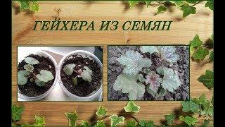 Гейхера - выращивание из семян, уход, зимовка