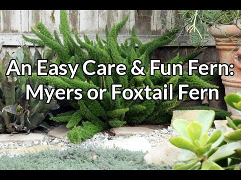 an easy care fun fern myers or foxtail fern youtube. Black Bedroom Furniture Sets. Home Design Ideas
