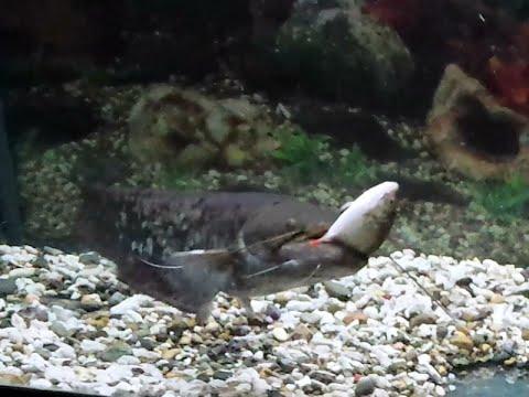 Как сом Гоша в аквариуме ест рыбу!!!