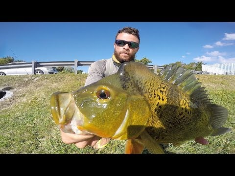 Miami Canal Fishing for PEACOCK BASS with LIVE Jewel Cichlid