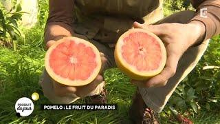 Pomelo : le fruit du paradis