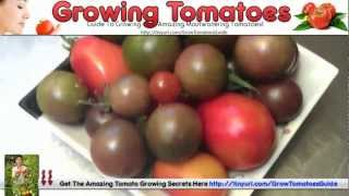 Growing Tomatoes In Greenhouses - Hanging Basket Tomatoes