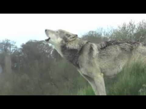Wolf brothers movie