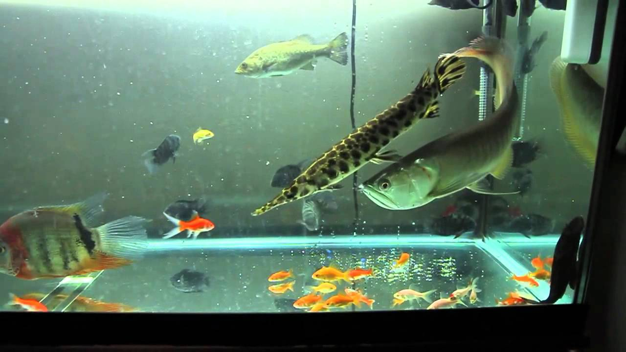 Monster fish tank feeding youtube for Monster fish show