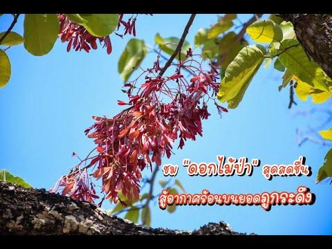 """ชม """"ดอกไม้ป่า"""" สุดสดชื่นสู้อากาศร้อนบนยอดภูกระดึง"""