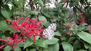 黑點大白斑蝶 tree nymphs