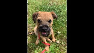 Buzz the Border Terrier Puppy  4 Weeks Residential Dog Training