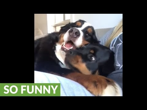 Cranky Rottweiler gets squished by Bernese Mountain Dog
