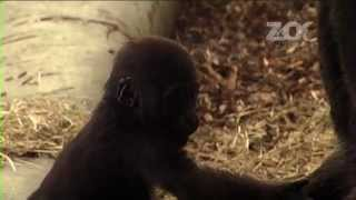 Video Two - The New Baby Gorillas at Dublin Zoo
