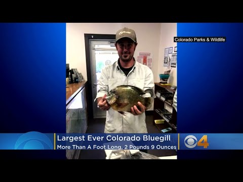 BEARDO - 2 pound Bluegill caught in Colorado