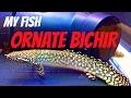 Ornate Bichir - My Fish