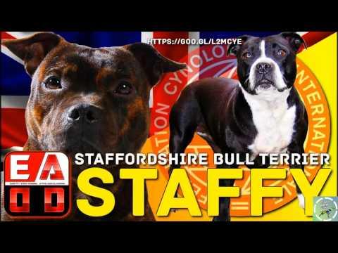 Staffordshire Bull Terrier - SBT ou Staff Bull