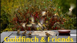 goldfinch---wild