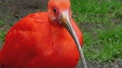 VOGEL DES MONATS APRIL - Roter Ibis / Scarlet Ibis - Welt-Vogelpark Walsrode