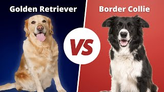 Border Collie VS Golden Retriever | Golden Retriever VS Border Collie Dog breed Comparison