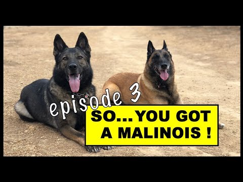 Malinois and Working Line Dog Questions #3 - Robert Cabral Dog Training