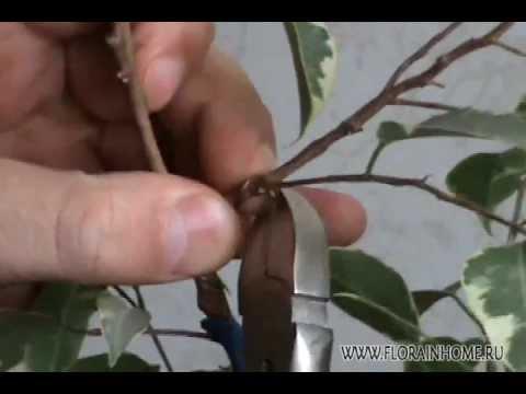 Декоративноре дерево бонсай Японское искусство бонсай - YouTube
