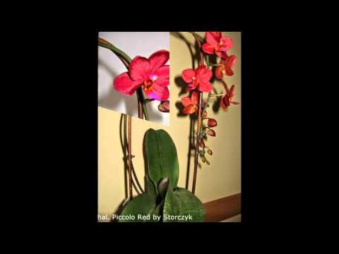 Как закрепить цветонос орхидеи
