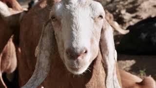 Penzion Farma Hamr, anglonubijské kozy,  podzim 2017