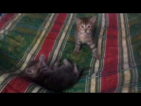 Kittens playing :D