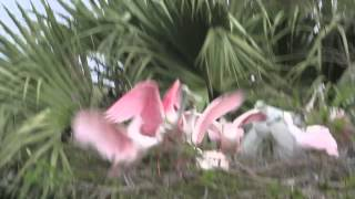 Video Roseate Spoonbill Feeding Young download MP3, 3GP, MP4, WEBM, AVI, FLV April 2018