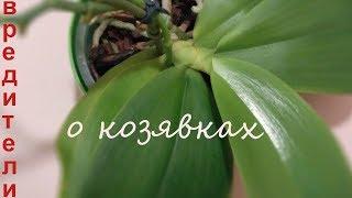 видео Вредители орхидей (фаленопсис): болезни и их лечение с фото