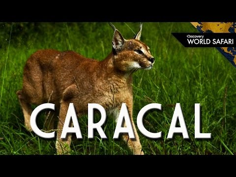 The Caracal Can Jump 10 Feet High to Catch Prey