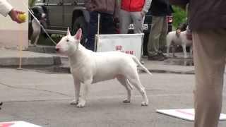 Dog Show Mono Bull Terrier 2014/05/25 P07 (582)