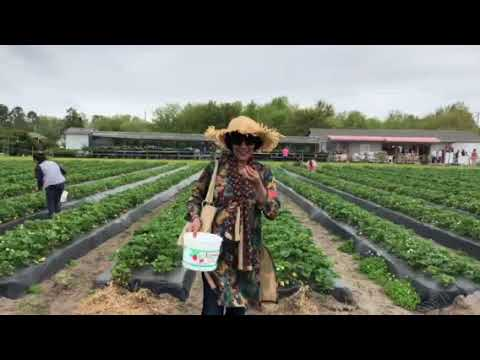You Pick Lewis Strawberry Nursery And Farm In Wilmington Usa Youtube
