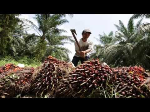 ACEITE PELIGROSO. El aceite de palma. Dañino para el sistema circulatorio. Guia de alimentos