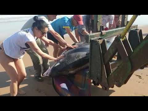 VÍDEO Rescate de un delfín varado en la Playa de Vega