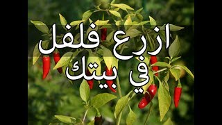 طريقة زراعة الفلفل الحار من البذرة الى الثمرة