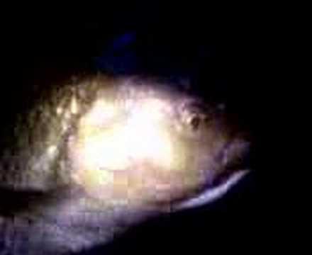 Chub Fish Caught in Byrons Pool Cambridge