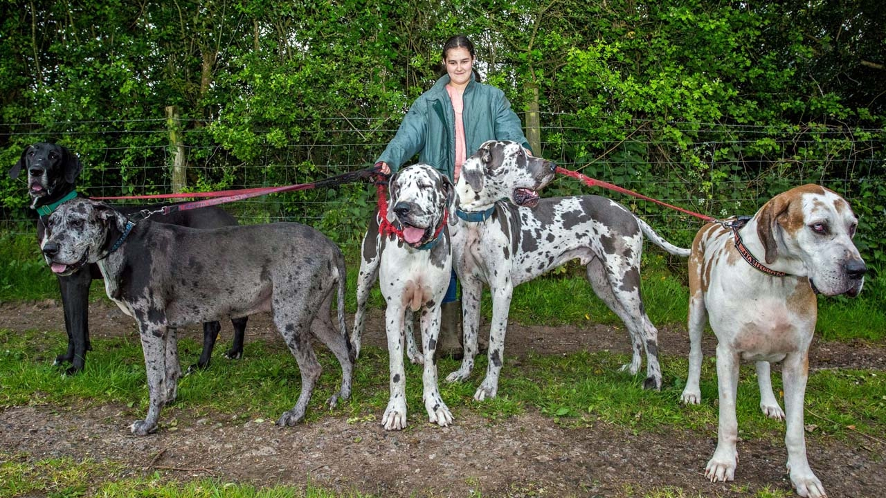 Living With Great Danes