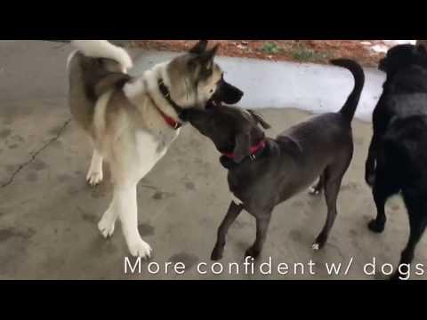 Timid Weimaraner Dog | Amazing Off Leash Dog Training | Saratoga Springs, NY