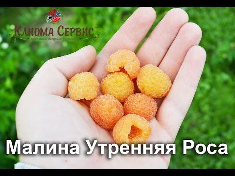Желтая малина. Сорт Утренняя Роса (Poranna Rosa) купить в Украине