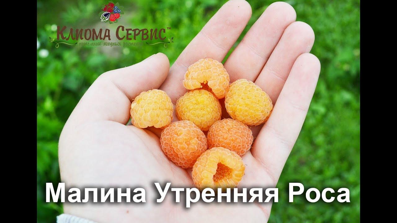 желтая малина сорта фото