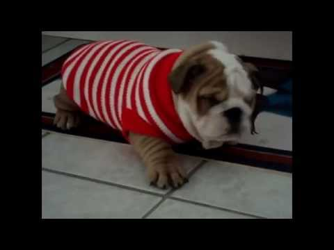 Bulldog Puppies are the cutest Puppies ever! Funny Dog Vine Compilation